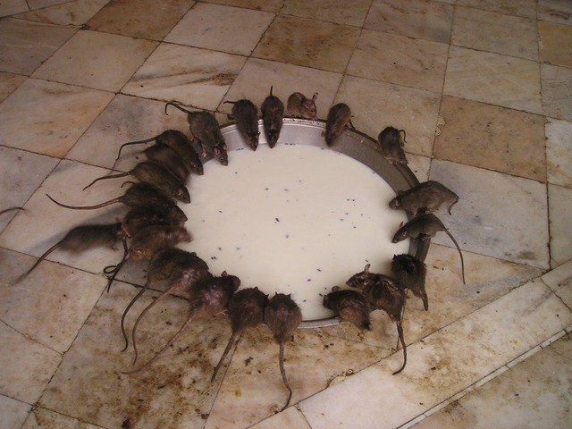 get rid of rats outside